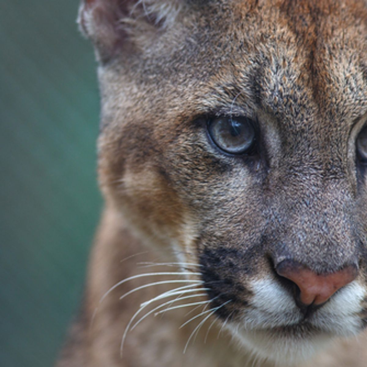 Animal Crossing White Wolf Porn catfight: how mountain lions are struggling to survive