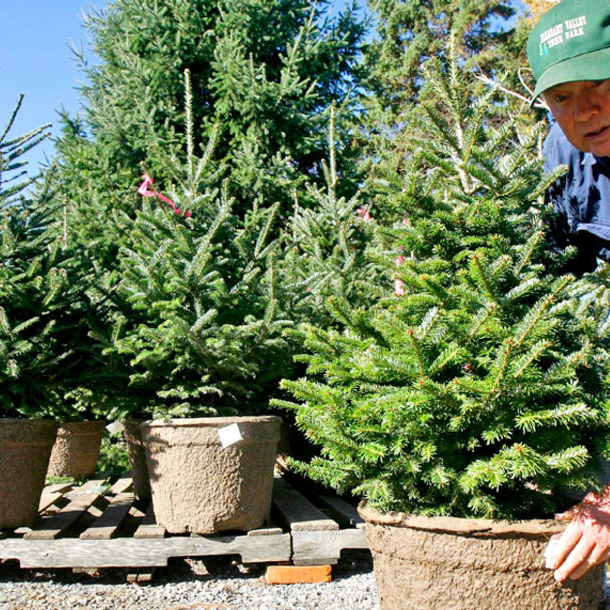 Plantable Christmas Tree.Artificial Or Farmed Christmas Tree Turns Out There S A