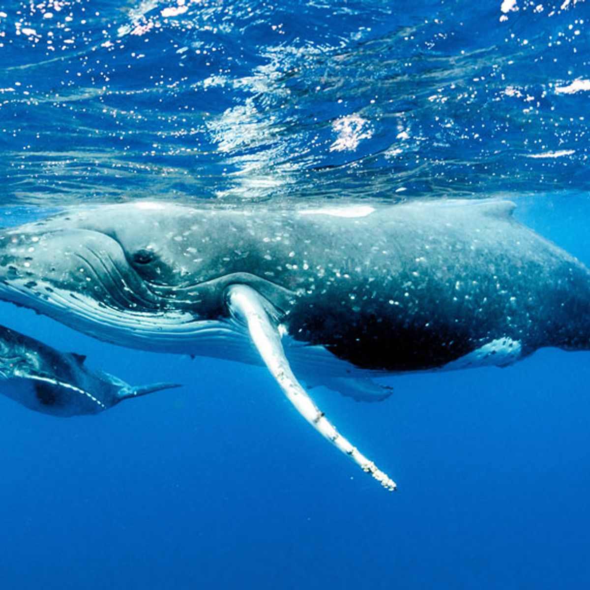 California's humpback whales are threatened by shipping traffic