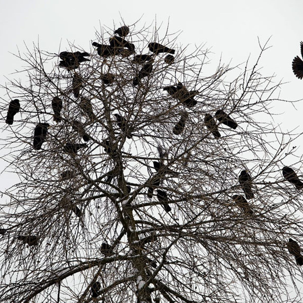 Jackdaw birds can tell humans apart — and remember which ones are violent