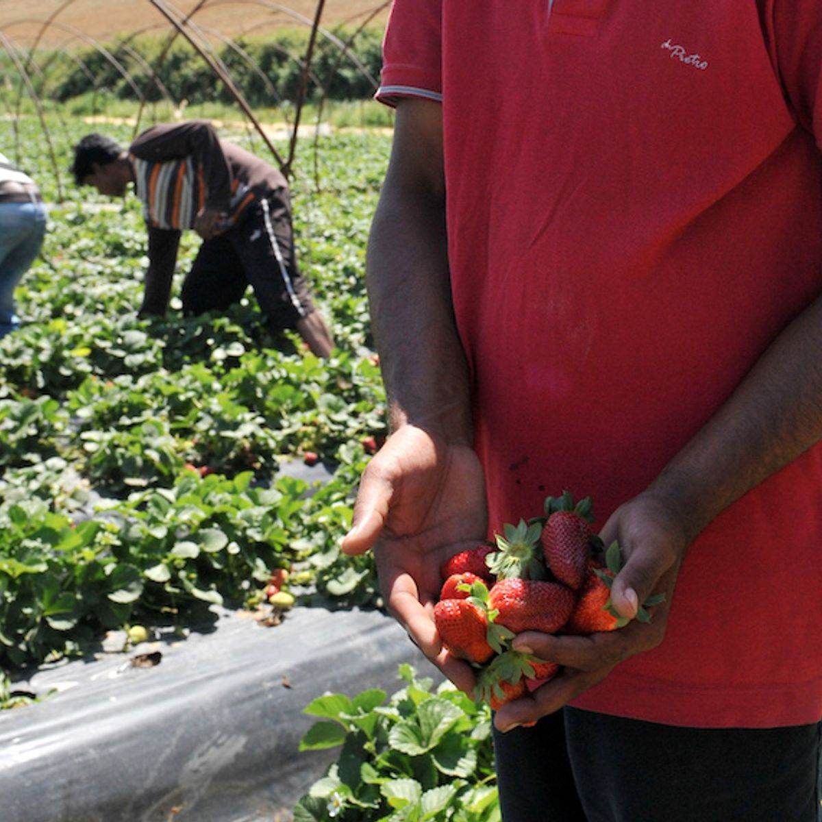 Migrant strawberry pickers face deadly risks living in flammable shacks