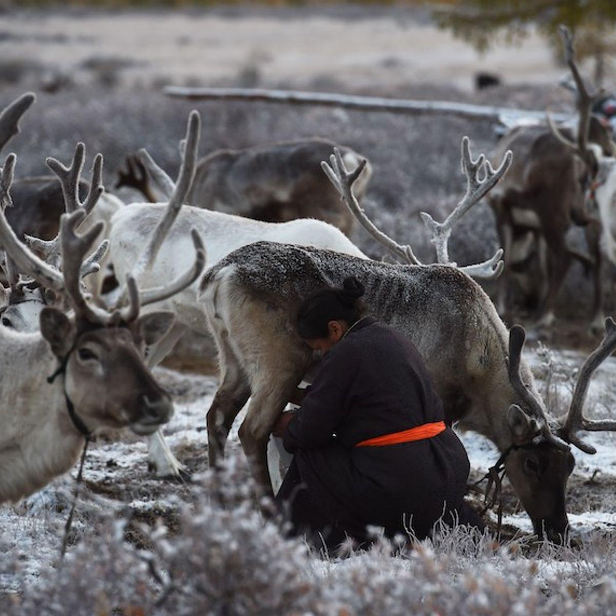 Conservation policies threaten indigenous reindeer herders in Mongolia