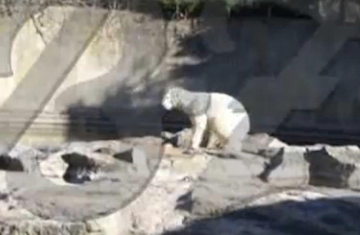 Disturbing footage of Knut's death.