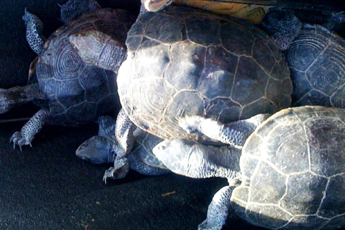 The turtles captured at New York's Kennedy Airport on Wednesday.