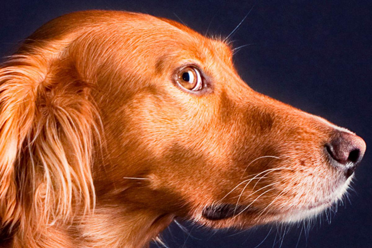 An Irish Setter (not Seamus). (<a href='http://www.shutterstock.com/gallery-267391p1.html'>Andrii Muzyka</a> via <a href='http://www.shutterstock.com/'>Shutterstock</a>)