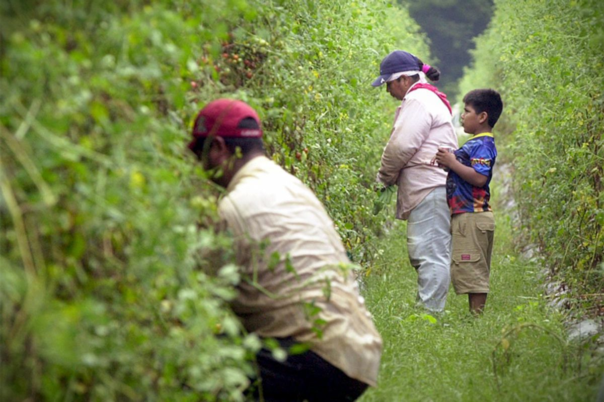 A young boy watches his migrant worker motherwhile she picks grape tomatoes in Rocky Point, N.C.     (AP/Jeffrey A. Camarati)