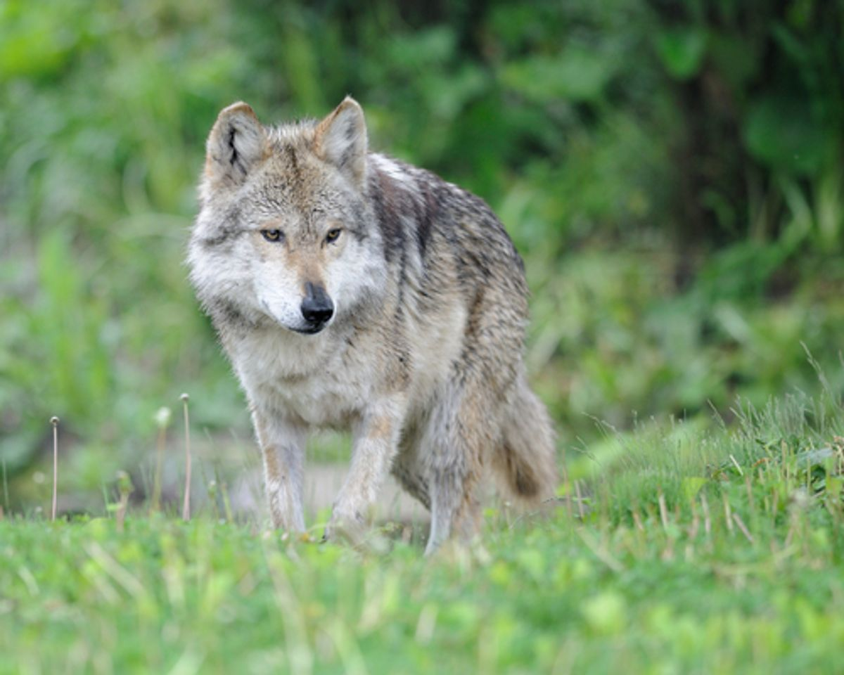 Mexican grey wolf (Nagel Photography/Shutterstock)