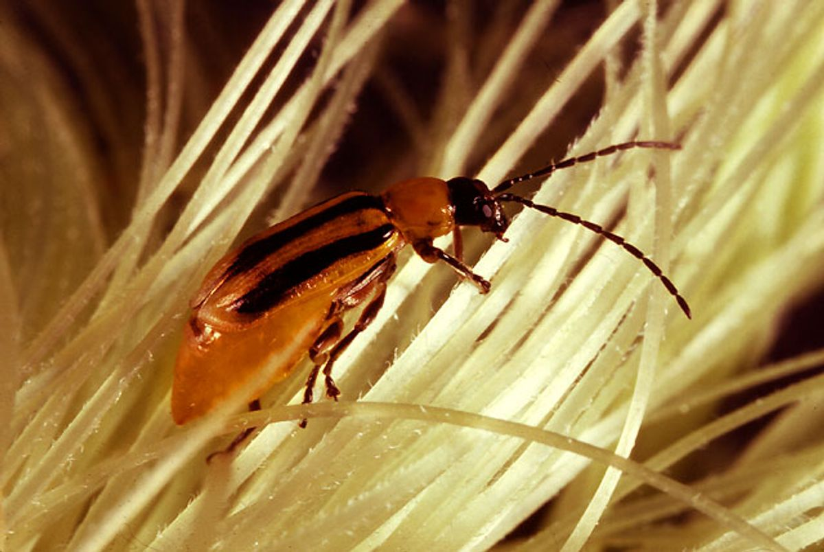 The adult stage of the western corn rootworm shown searching for pollen on corn silk (USDA/Wikimedia Commons)
