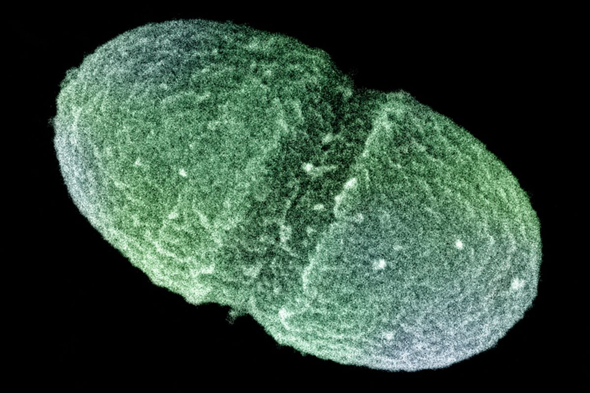 The bacterium, Enterococcus faecalis, which lives in the human gut.  (AP/Agriculture Department)