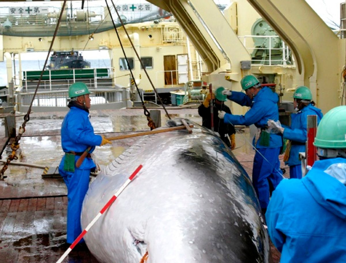 In this Feb. 8, 2009 file photo released by Japan's Institute of Cetacean Research workers measure a captured mink whale on the deck of Japanese whaling ship, the Nisshin Maru. (AP Photo/The Institute of Cetacean Research, File)