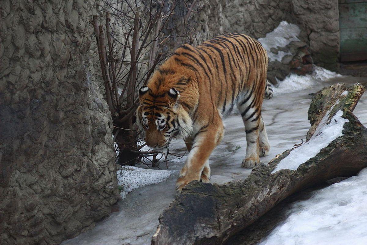 A tiger at the Kharkov Zoo  (Wikimedia Commons)