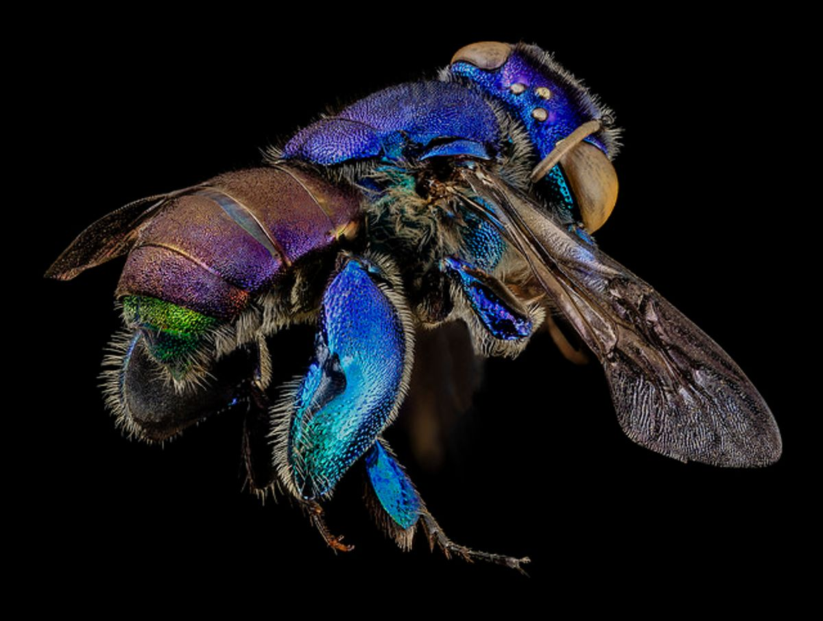 Euglossa orchid bee, found in the Guyana rainforests (USGS Bee Inventory and Monitoring Lab)