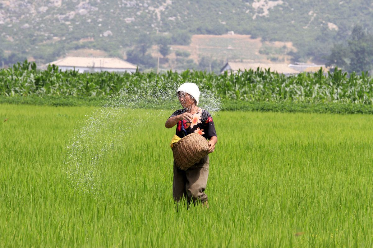 a farmer is giving fertilizer to rice plants in Sohung County of North Hwanghae Province, DPRK, on Thursday, July 10th, 2014. (AP Photo/Kim Kwang Hyon) (Kim Kwang Hyon)