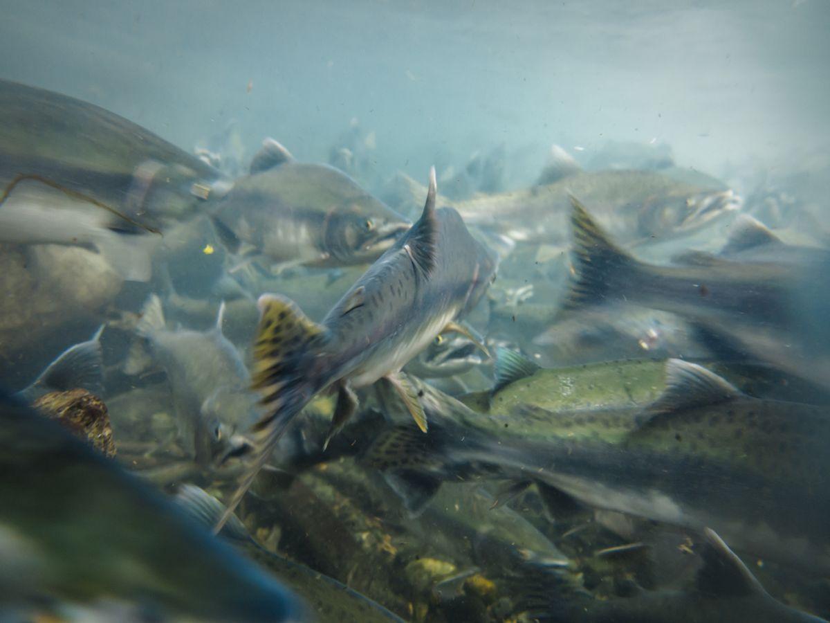 Sockeye salmon spawn in an Alaskan river   (Pete Niesen/Shutterstock)