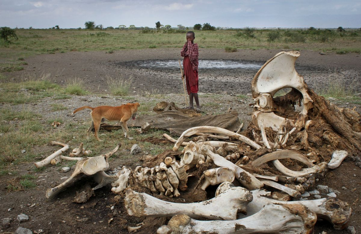 FILE - In this Wednesday, Feb. 13, 2013 file photo, a Maasai boy and his dog stand near the skeleton of an elephant killed by poachers outside of Arusha, Tanzania.  (AP/Jason Straziuso)