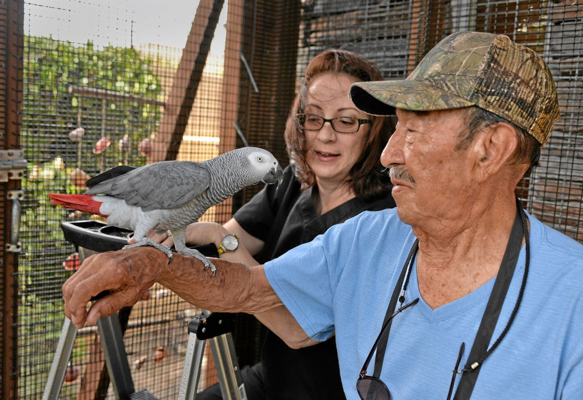 In this Oct. 15, 2014 photo, Nigel, the parrot, was reunited with his second family this week after original owner Darren Chick decided to give him back to the family that had bonded with him the last four years in Torrance, Calif. The reunion was brought about by a Southern California veterinarian who mistook Nigel, an African gray parrot, for her own missing bird, the Daily Breeze reported Sunday. (AP Photo/The Daily Breeze, Robert Casillas) (AP)