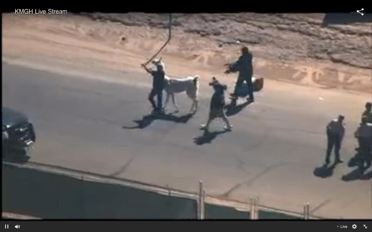 The white llama is apprehended.    (KGBH/ABC 7 Denver)