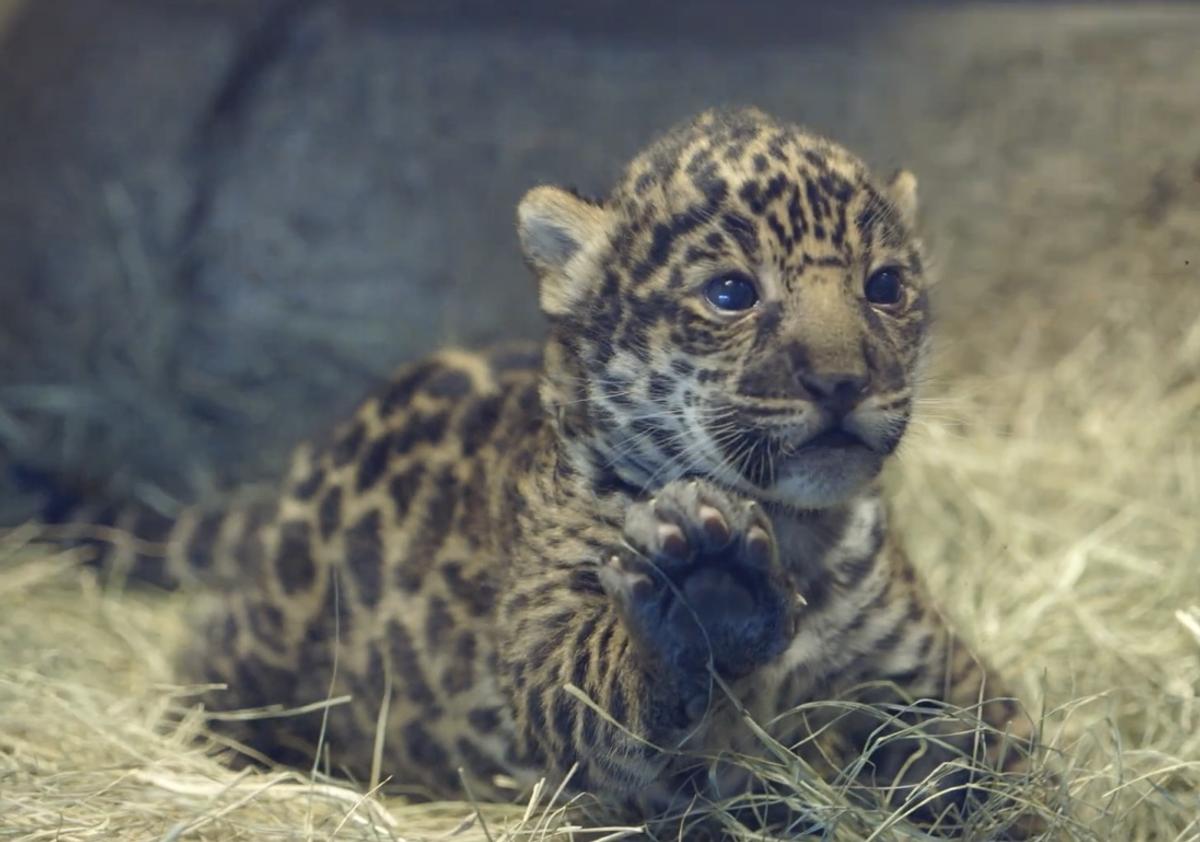 """(<a href=""""http://zoo.sandiegozoo.org/videos"""">Screenshot, San Diego Zoo</a>)"""