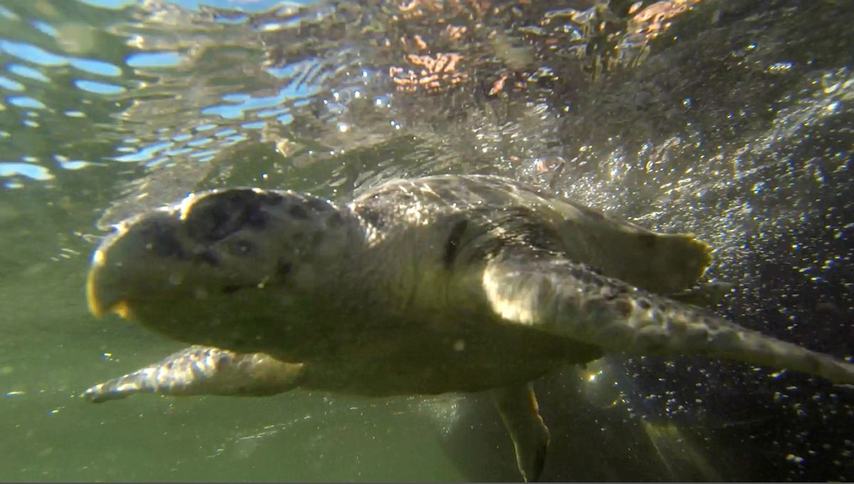 """FILE - In this Jan. 29, 2015 image made from video, an endangered Kemp's Ridley sea turtle swims as it is released into the Gulf of Mexico, 24 miles off the coast of Louisiana, after being rehabilitated by the Audubon Institute. After the spill, the number of the turtles' nests dropped 40 percent in one year in 2010. """"We had never seen a drop that dramatic in one year before,"""" according to Selina Saville Heppell, a professor at Oregon State University. The population climbed in 2011 and 2012 but then fell again in 2013 and 2014, down to levels that haven't been that low in nearly a decade, she said. (AP Photo/Gerald Herbert, File) (AP)"""