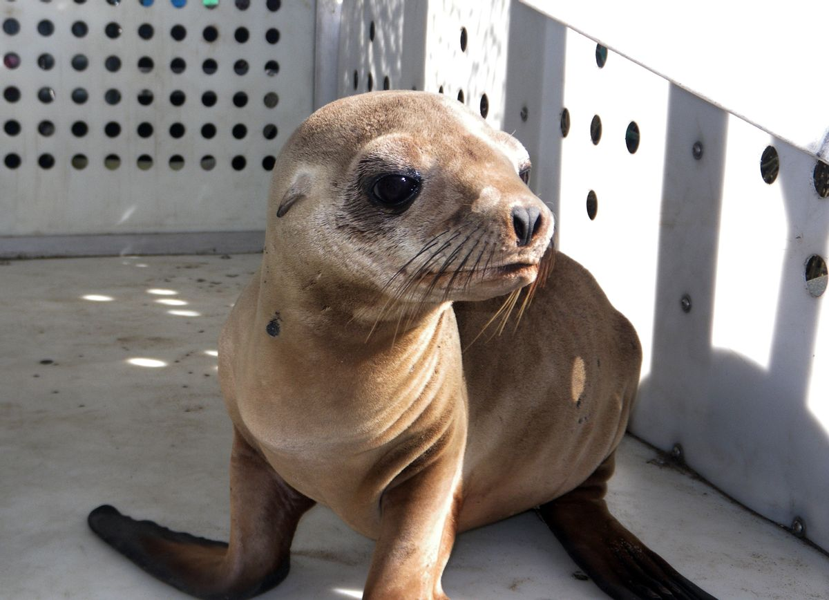 This photo provided by Peter Wallerstein of Marine Mammal Rescue shows a sea lion pup at a MMR facility in the Playa Del Rey area of Los Angeles Sunday, April 19, 2015. It's one of two pups that were found on Dockweiler State Beach just west of Los Angeles International Airport. Witnesses say another pup was abducted from Dockweiler by four people who wrapped the pup in a blanket and left in a car around 3:20 a.m. early Sunday. This pup was found hiding there a short time later. The rescued pup weighs about 25 pounds and is probably 10 months old, said Wallerstein.(Peter  Wallerstein/Marine Mammal Rescue via AP) (AP)