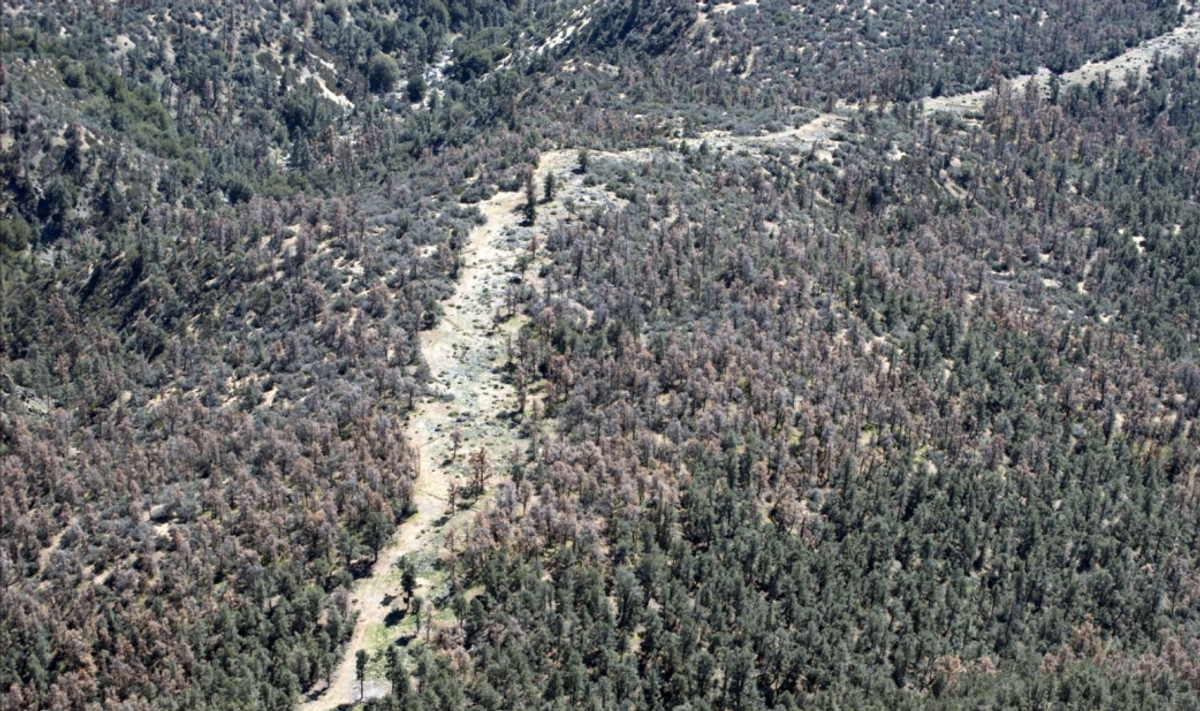 Recent as well as older pinyon mortality near Mt. Frazier on the Mt. Pinos Ranger District of the Los padres National Forest. Also note that green trees are discolored and symptomatic of drought stress.         (U.S. Forest Service)