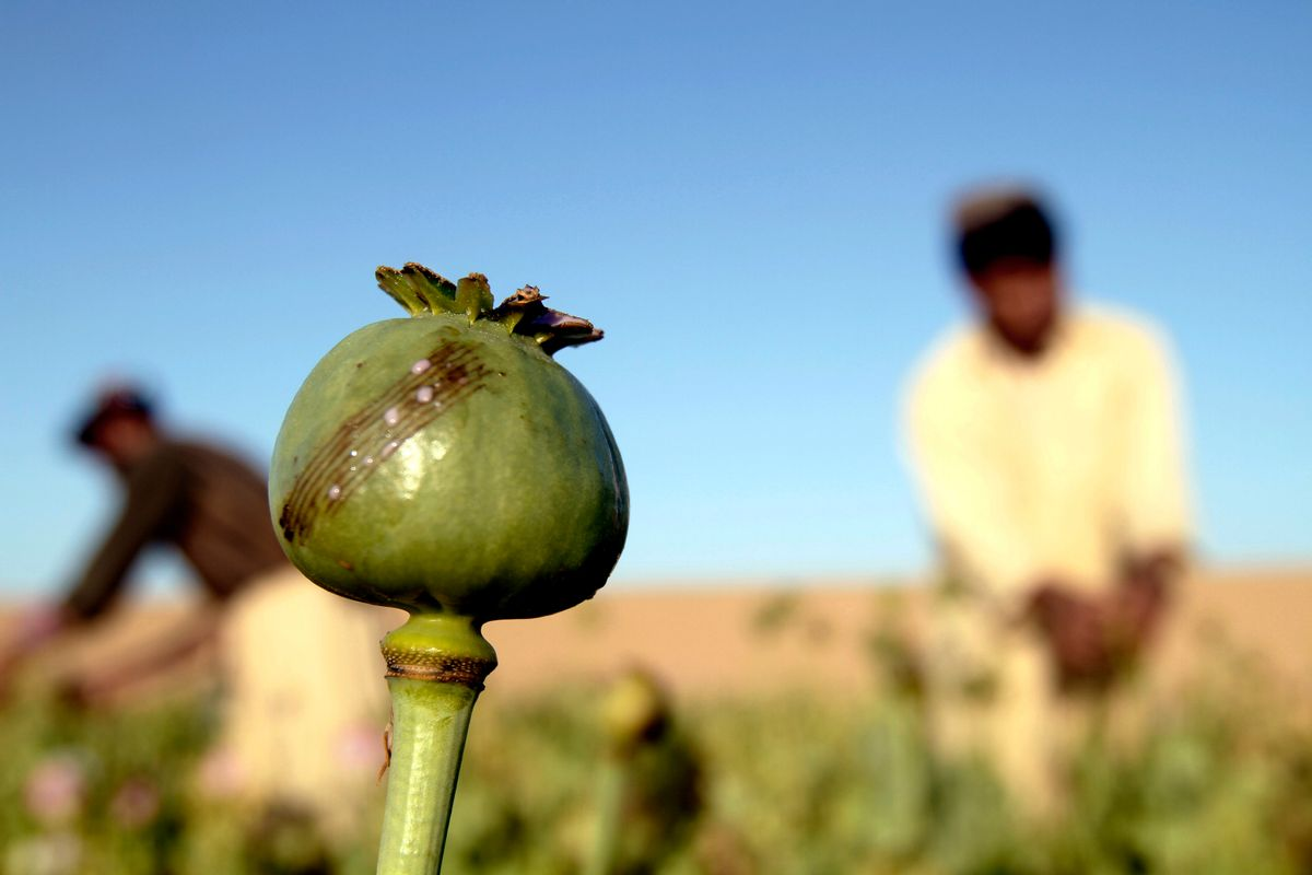 In this Saturday, April 11, 2015 photo, Afghan farmers harvest raw opium at a poppy field in Kandahar's Zhari district, Afghanistan. This year, many Afghan poppy farmers are expecting a windfall as they get ready to harvest opium from a new variety of poppy seeds said to boost yield of the resin that produces heroin. The plants grow bigger, faster, use less water than seeds they've used before, and give up to double the amount of opium, they say. (AP Photo/Allauddin Khan) (AP)