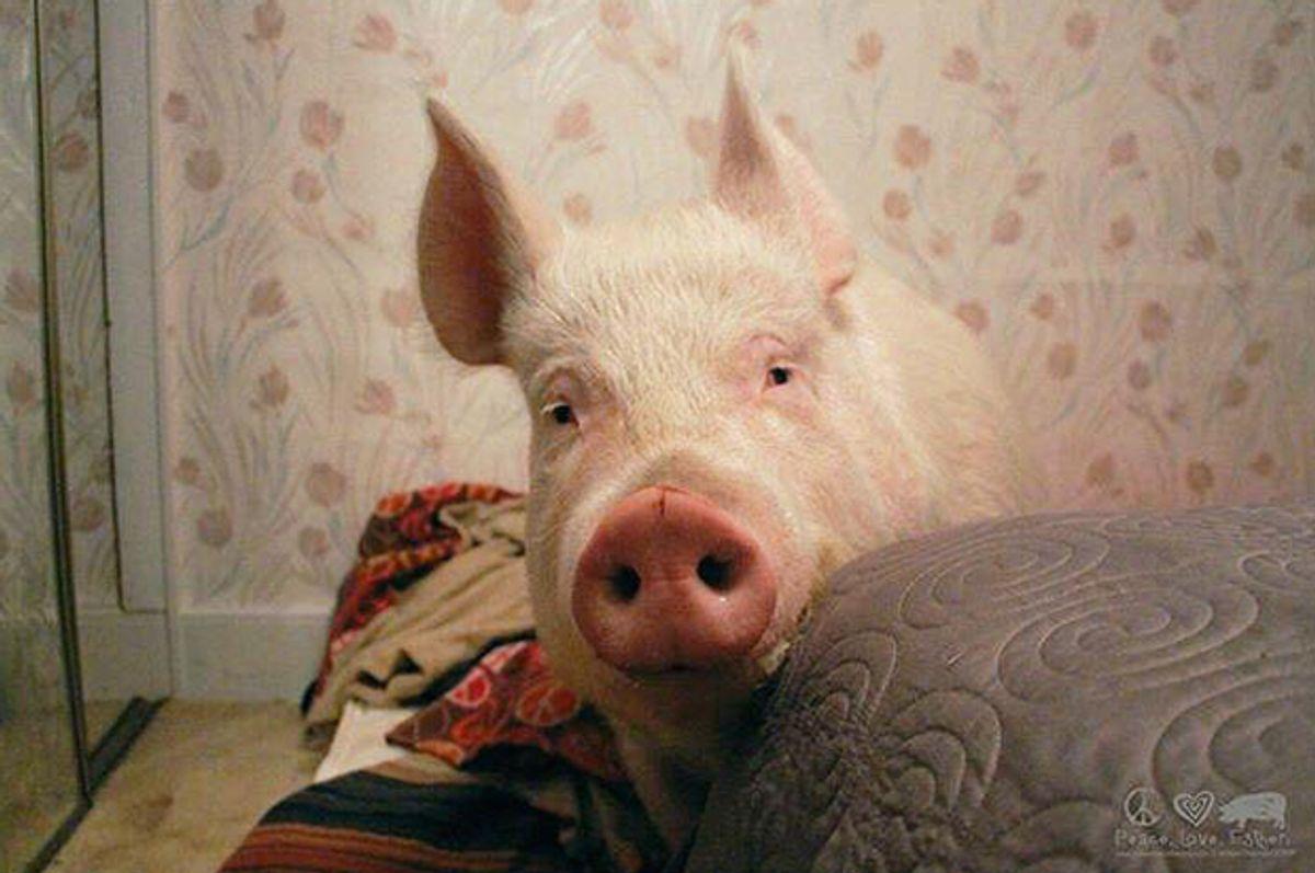 Esther the Wonder Pig     (Facebook/Esther the Wonder Pig)