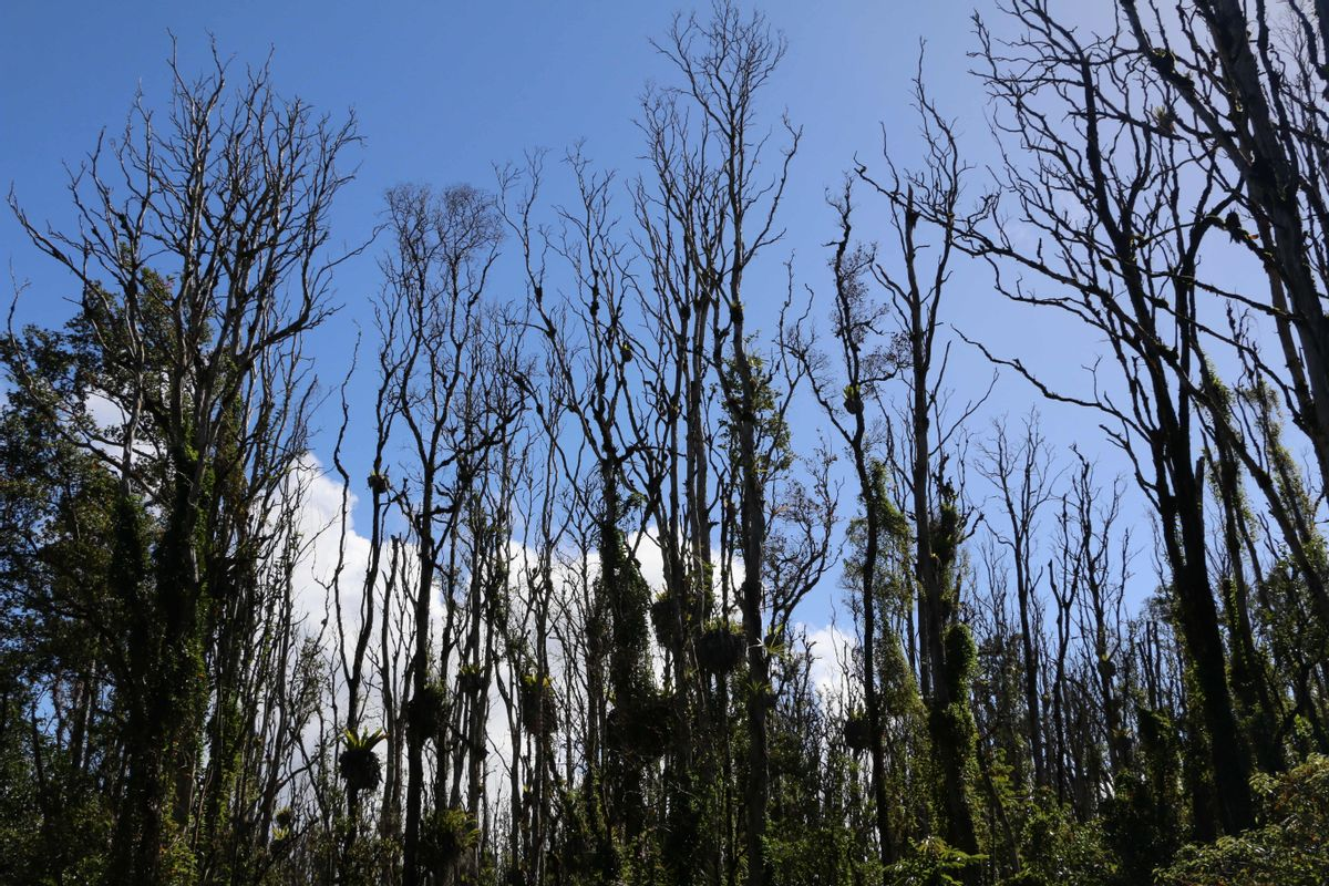 This Dec. 17, 2015 photo provided by the Hawaii State Department of Land and Natural Resources shows ohia lehua trees hit by the rapid ohia death fungus in Pahoa, Hawaii. A newly discovered fungus is killing a tree that's critical to Hawaii's water supply and feeding endangered native birds. (Hawaii State Department of Land and Natural Resources via AP) (AP)