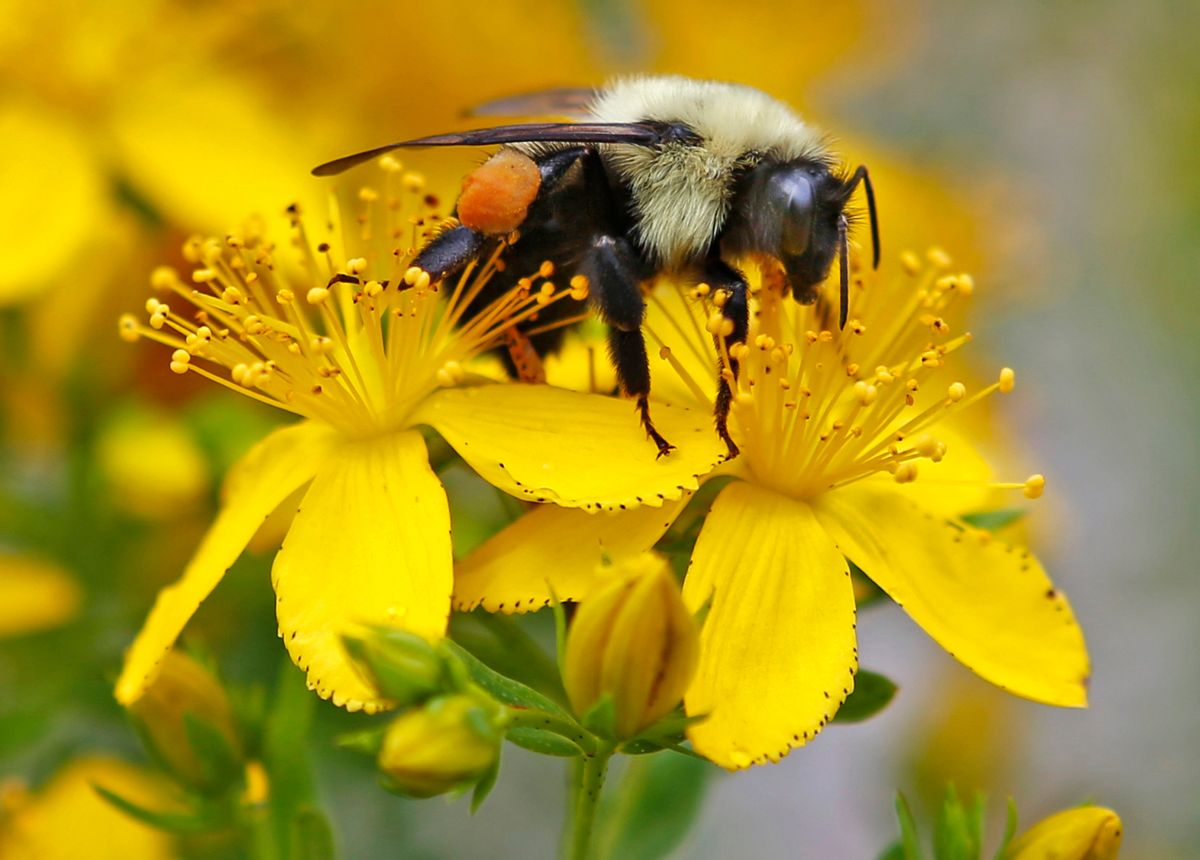 In this July 8, 2015 file photo a bumblebee gathers nectar on a wildflower in Appleton, Maine. (AP Photo/Robert F. Bukaty, File)
