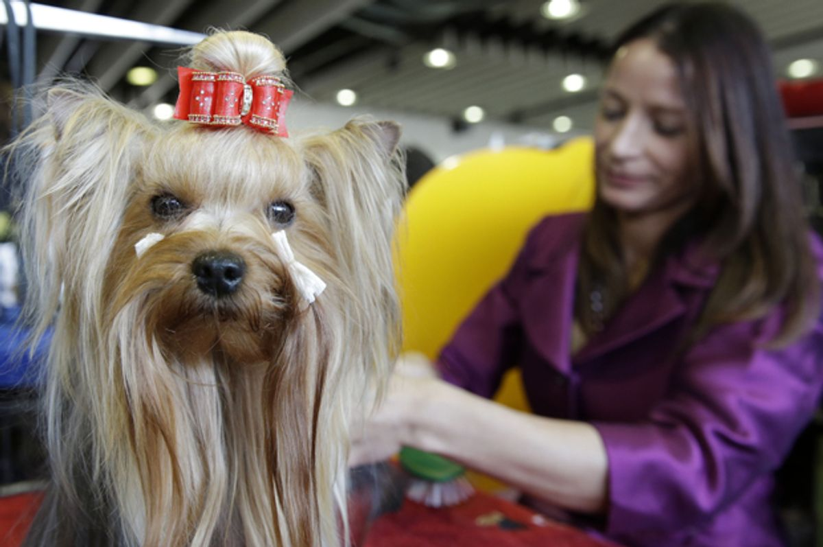 A Yorkshire Terrier named Cali is groomed at the Westminster Kennel Club show in New York, Feb. 16, 2015.   (AP/Seth Wenig)