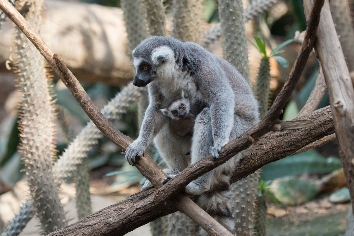 In this April 2016 photo provided by the Wildlife Conservation Society, a ring-tailed lemur and her baby sit on a tree branch at the Bronx Zoo in the Bronx borough of New York. (Wildlife Conservation Society/Julie Larsen Maher via AP) (AP)