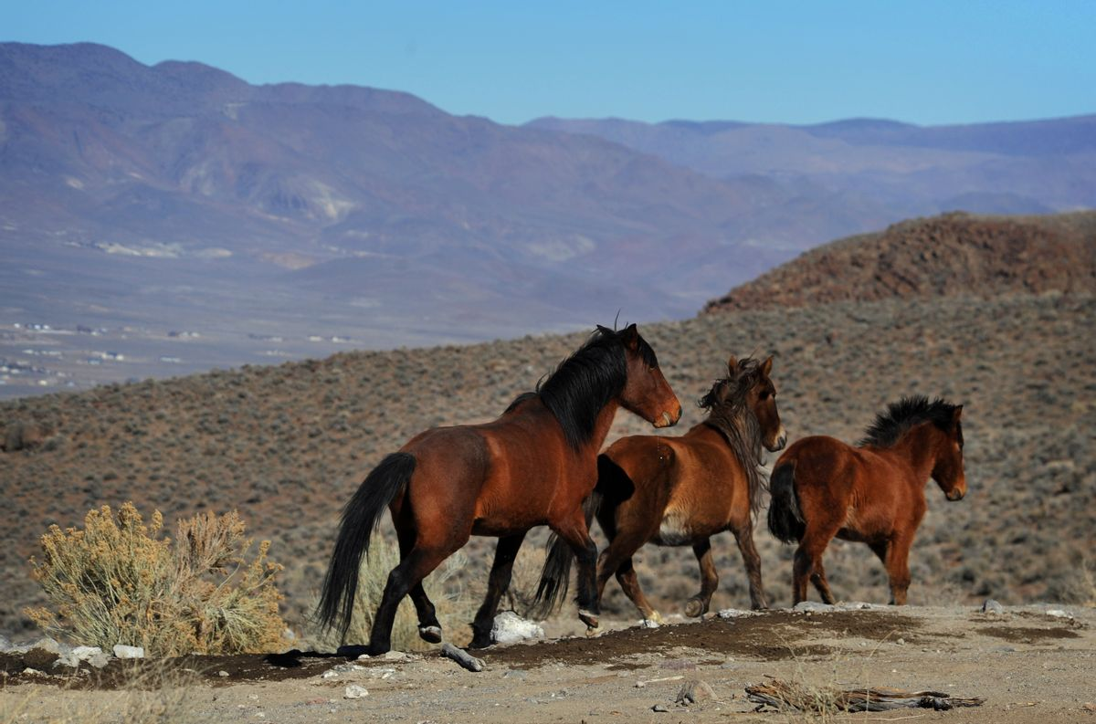 In this Jan. 23, 2015, photo, wild horses are seen during a BLM tour in the Pine Nut Mountains just outside of Dayton, Nev. Under the threat of another legal battle, the U.S. Bureau of Land Management has quietly pulled the plug on a public-private partnership in northern Nevada aimed at shrinking the size of a wild horse herd through the use of contraceptives, according to documents The Associated Press obtained on Tuesday, May 10, 2016. (Jason Bean/The Reno Gazette-Journal via AP)  NO SALES; NEVADA APPEAL OUT; SOUTH RENO WEEKLY OUT; MANDATORY CREDIT (AP)