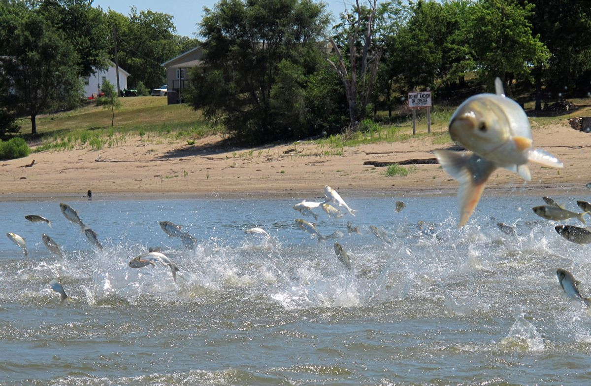 FILE - In this June 13, 2012 file photo, Asian carp, jolted by an electric current from a research boat, jump from the Illinois River near Havana, Ill. An effort is under way to reintroduce alligator gar into lakes, rivers and backwaters of several states possibly to help control populations of the invasive carp. (AP Photo/John Flesher, File) (AP)