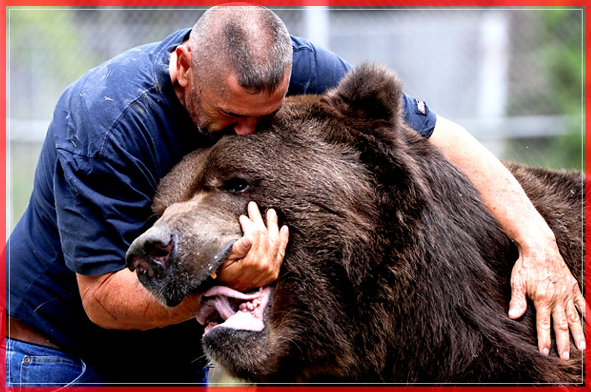 In this Wednesday, Sept. 7, 2016 photo, Jim Kowalczik plays with Jimbo, a 1500-pound Kodiak bear, at the Orphaned Wildlife Center in Otisville, N.Y. (AP Photo/Mike Groll) (AP)