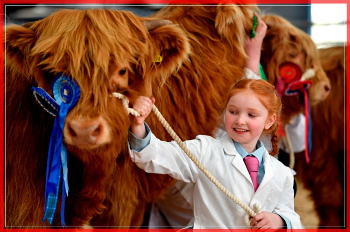 OBAN, SCOTLAND - OCTOBER 10:  Eight year old Kate Cameron stands with Abernethy at the one hundred and nineteenth annual autumn sale of pedigree highland cattle on October 10, 2016 in Oban, Scotland. The show and sale is held over two days and is open to all highland breed enthusiasts, attracting many buyers from across Europe and North America.  (Photo by Jeff J Mitchell/Getty Images) (Getty Images)