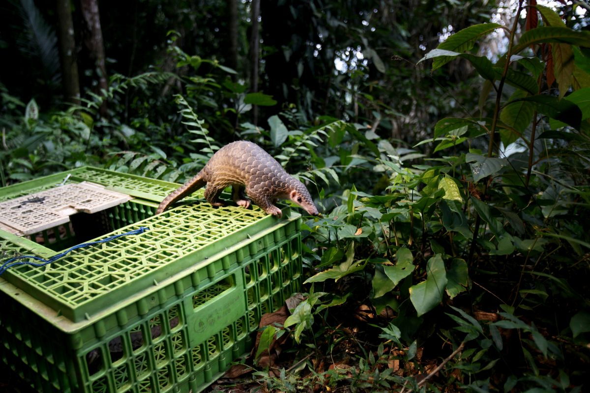 FILE - In this Monday, April 27, 2015 file photo, a pangolin climbs out of a cage upon its release into the wild in Sibolangit, North Sumatra, Indonesia. Although a global wildlife summit banned all trade of the pangolin, an anteater with a distinctive coat of hard scales, doubts remain whether that will stop the illegal traffic of pangolins in Africa fueled by a growing demand from Asian consumers, particularly Chinese. (AP Photo/Binsar Bakkara, File) (AP)