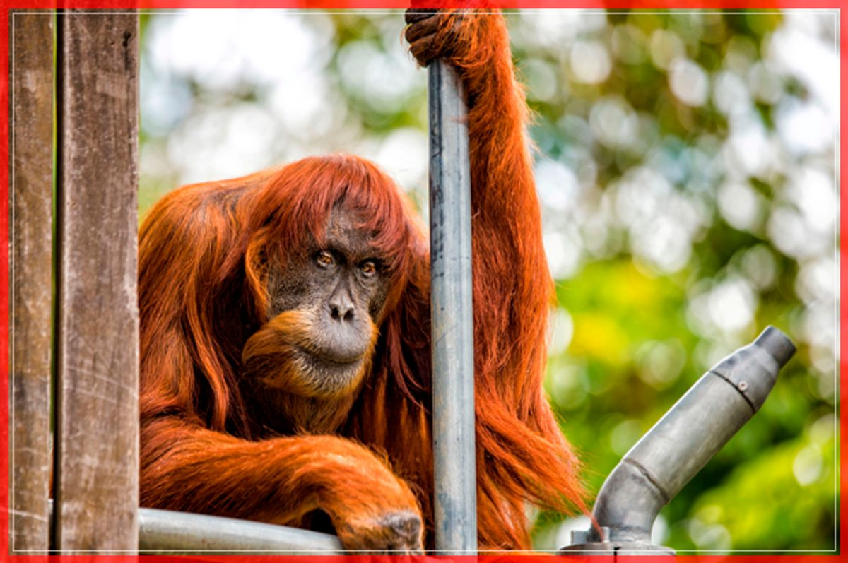 60-year-old 'Puan', who has been declared the oldest living Sumatran Orangutan in the world, is seen at Perth Zoo in Western Australia, in this handout image released October 27, 2016. Perth Zoo/Alex Asbury/Handout via REUTERS    ATTENTION EDITORS - THIS IMAGE WAS PROVIDED BY A THIRD PARTY. EDITORIAL USE ONLY. NO RESALES. NO ARCHIVE. - RTX2QNIC (Reuters)