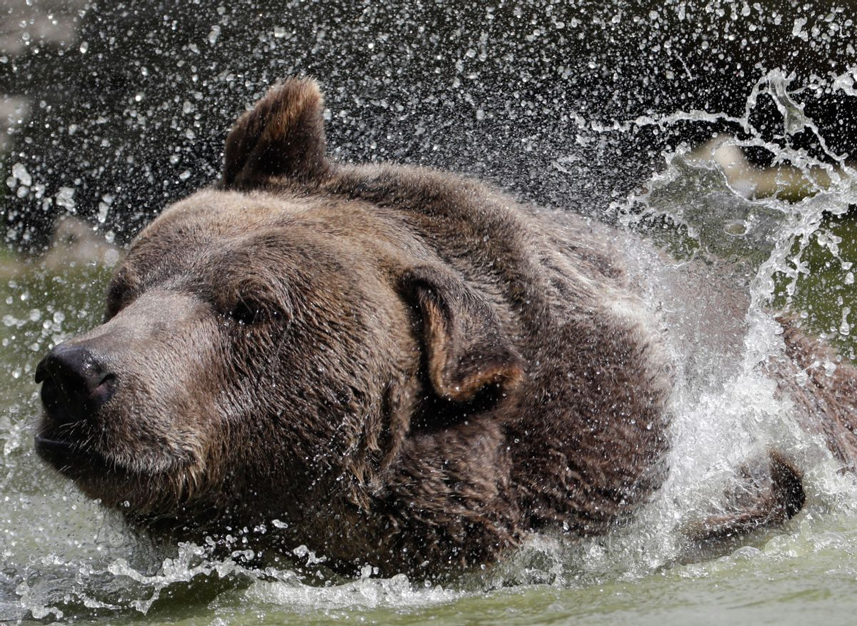 In this Wednesday, Sept. 7, 2016 photo, Leo, a Syrian brown bear, cools off in a pond at the Orphaned Wildlife Center in Otisville, N.Y. (AP Photo/Mike Groll) (AP)