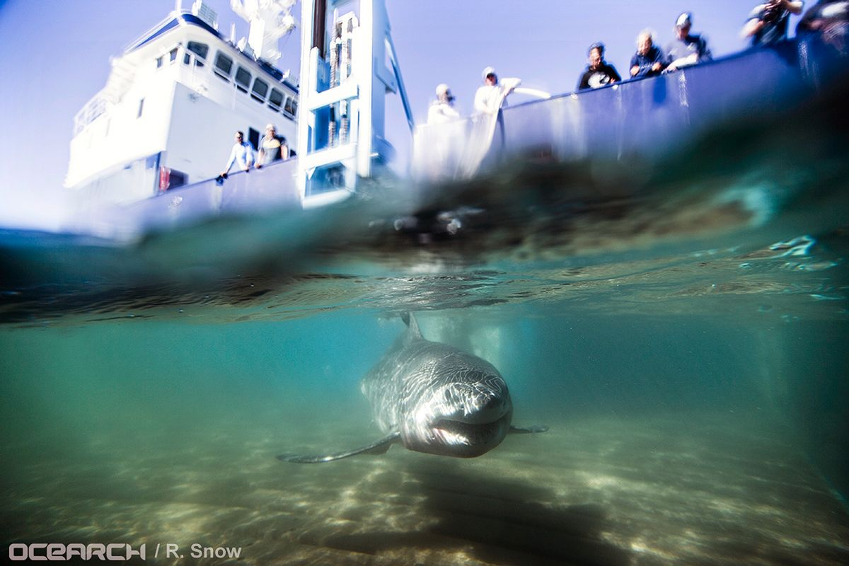 In this Aug. 23, 2016 photo provided by OCEARCH, a juvenile male great white shark named Paumanok swims away after researchers tagged and sampled him off the point of Montauk, N.Y.  (AP)