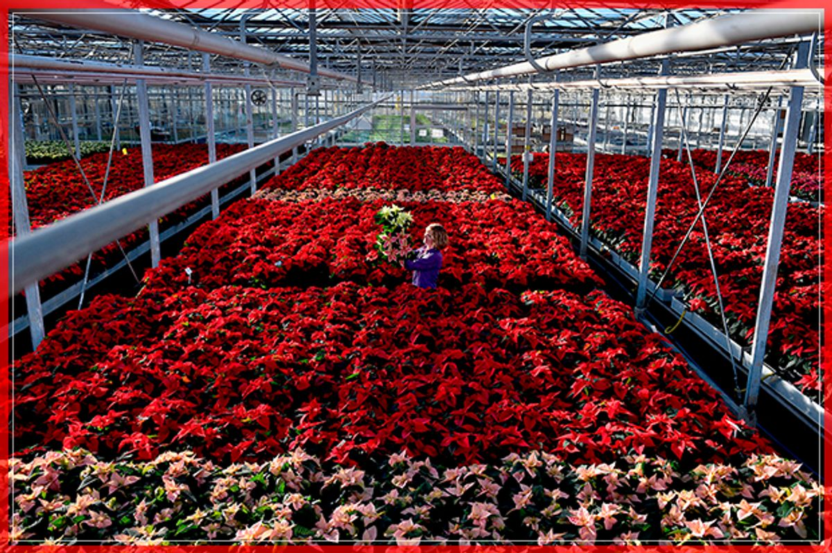 LOANHEAD, SCOTLAND - NOVEMBER 18:  Carolyn Spray holds up one of her many Poinsettia plants ready to be dispatched for the Christmas season at the Pentland Plants garden centre on November 18,2016 in Loanhead, Scotland. The garden centre grows around 100,000 poinsettias, a traditional Christmas house plant. The Midlothian business supplies a host of garden centres and supermarkets across Scotland and the north of England in time for the festive season.  (Photo by Jeff J Mitchell/Getty Images) (Getty Images)