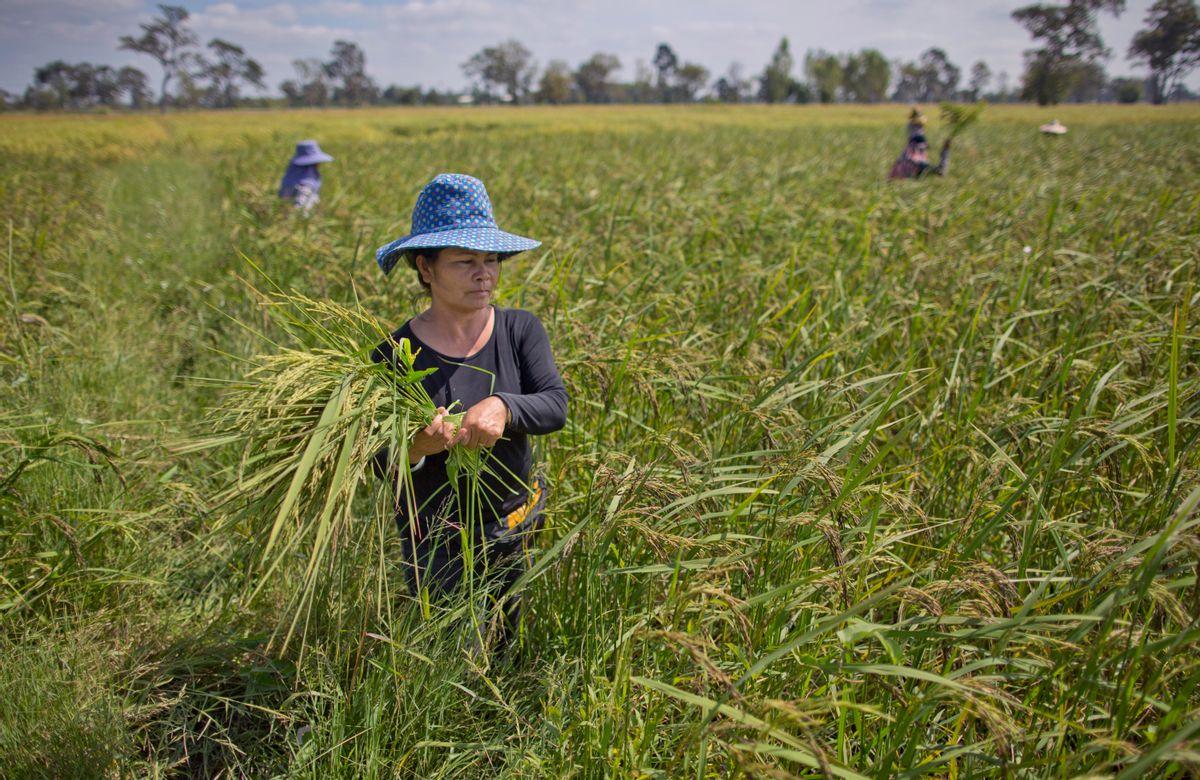 In this Nov 4, 2016 photo, Thai farmers weed an organic rice-field in Buriram, Thailand. (AP Photo/Gemunu Amarasinghe) (AP)