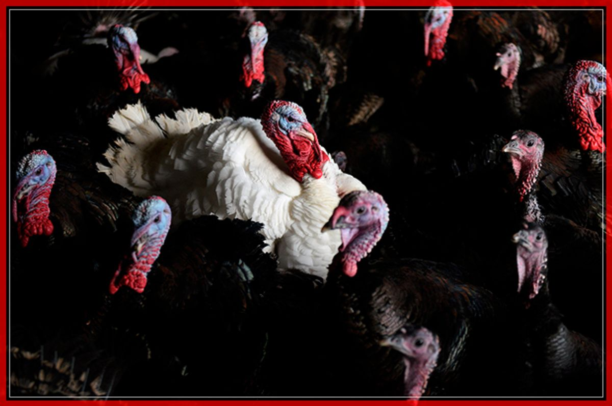 Bronze and white turkeys are reared on poultry farmers Tim & Lynne Lindley's 'Hostingley Farm Free Range' near Dewsbury, northern England, on November 23, 2016. The turkeys and geese are reared from day-old chicks until they are slaughtered, plucked, hung and prepared all on site, ready for Christmas. / AFP / Oli SCARFF        (Photo credit should read OLI SCARFF/AFP/Getty Images) (Afp/getty Images)