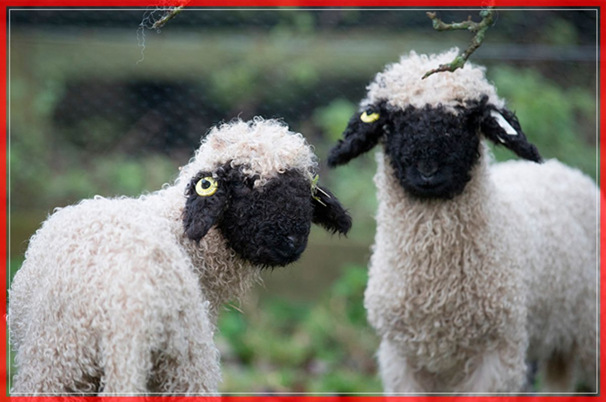 ST AUSTELL, ENGLAND - DECEMBER 14:  Recently arrived rare breed Valais Blacknose lambs explores its new home in a paddock at the Lost Gardens of Heligan near St Austell on December 14, 2016 in Cornwall, England. The Lost Garden's of Heligan's farm is home to a variety of traditional and rare breed livestock and poultry, which is managed using a mixture of traditional breeds and sustainable, low intensity techniques. The farm's cows, pigs and sheep are all reared for meat, which is butchered locally and provides a locally produced meat for the Heligan Tearoom.  (Photo by Matt Cardy/Getty Images) (Getty Images)
