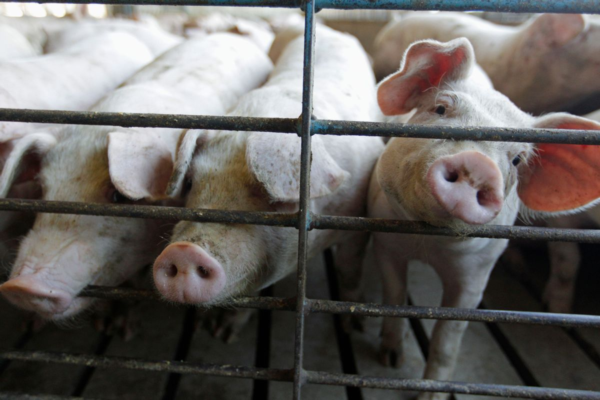 FILE - This June, 28, 2012, file photo shows hogs at a farm in Buckhart, Ill. (AP Photo/M. Spencer Green, File) (AP)