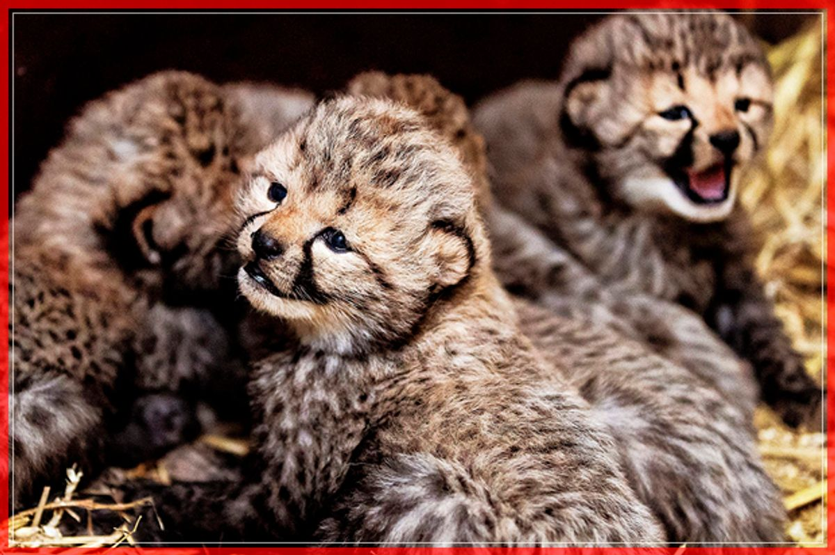 Five cheetah cubs, born on February 1, 2017, are pictured at the Safari Beekse Bergen, in Hilvarenbeek, on February 21, 2017. / AFP / ANP / Remko de Waal / Netherlands OUT        (Photo credit should read REMKO DE WAAL/AFP/Getty Images) (Afp/getty Images)
