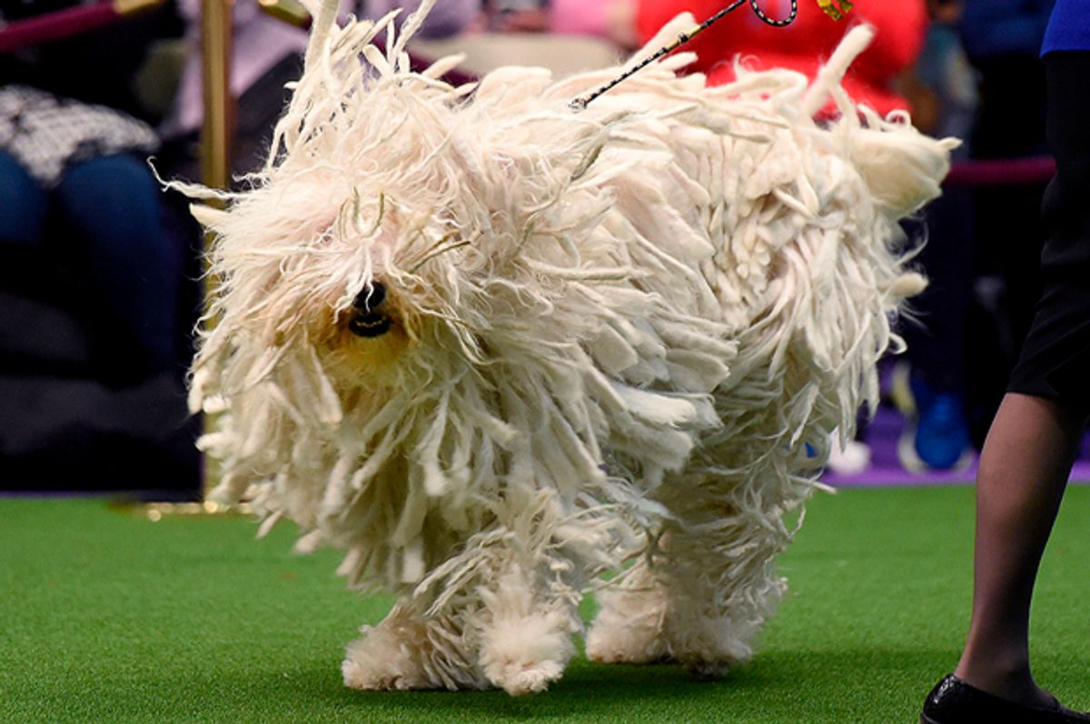 """Komondor """"BettyBoop"""" is seen in the judging area during day two of competition at the Westminster Kennel Club 141st Annual Dog Show in New York on February 14, 2017. / AFP / TIMOTHY A. CLARY        (Photo credit should read TIMOTHY A. CLARY/AFP/Getty Images) (Afp/getty Images)"""