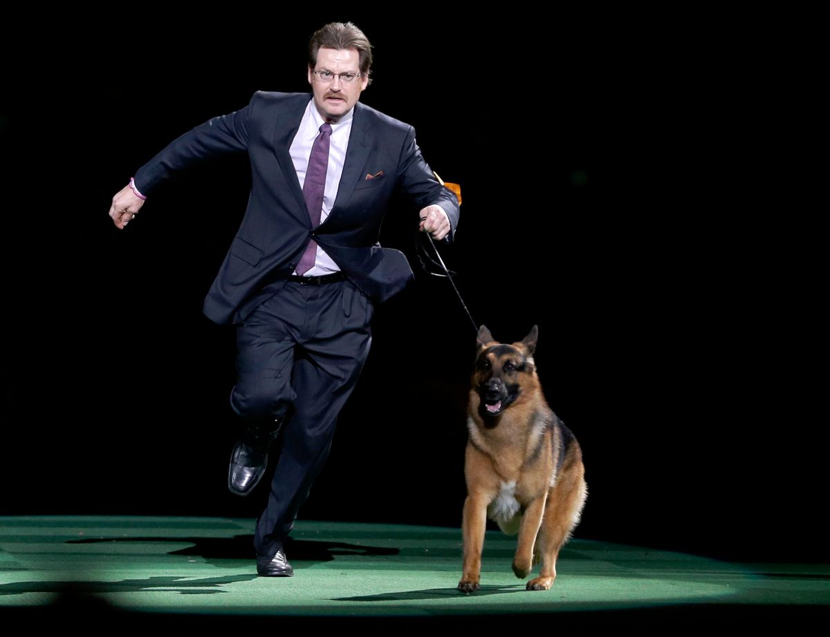 FILE - In this Feb. 16, 2016, file photo, Rumor, a German shepherd, and Kent Boyles take a lap around the ring during the best in show competition at the 140th Westminster Kennel Club dog show at Madison Square Garden in New York. CJ, a German shorthaired pointer, won best in show. Rumor, who just missed winning at the Westminster Kennel Club in 2016, came back to score a big victory Monday, Feb. 13, 2017, beating out favored Preston the puli in the herding group. (AP Photo/Seth Wenig, File) (AP)