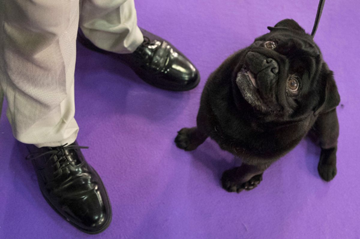 Nephie, a pug, keeps an eye on her handler Andrew Mueller, of Seattle, as they wait to compete in the Junior showmanship category during the 141st Westminster Kennel Club Dog Show, Tuesday, Feb. 14, 2017, in New York. (AP Photo/Mary Altaffer) (AP)