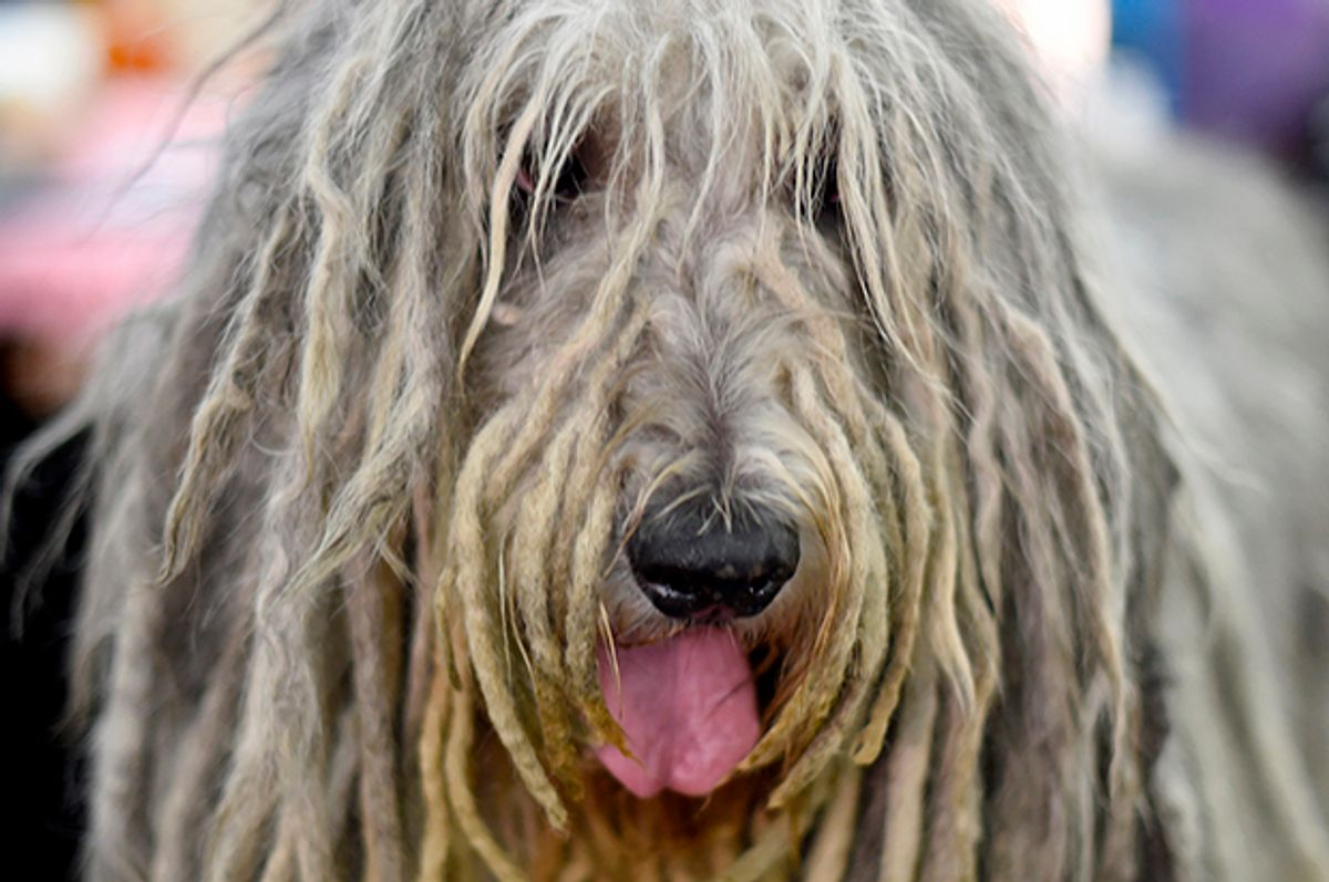 A Bergamasco is seen in the benching area during Day One of competition at the Westminster Kennel Club 141st Annual Dog Show in New York on February 13, 2017 . / AFP / TIMOTHY A. CLARY        (Photo credit should read TIMOTHY A. CLARY/AFP/Getty Images) (Afp/getty Images)