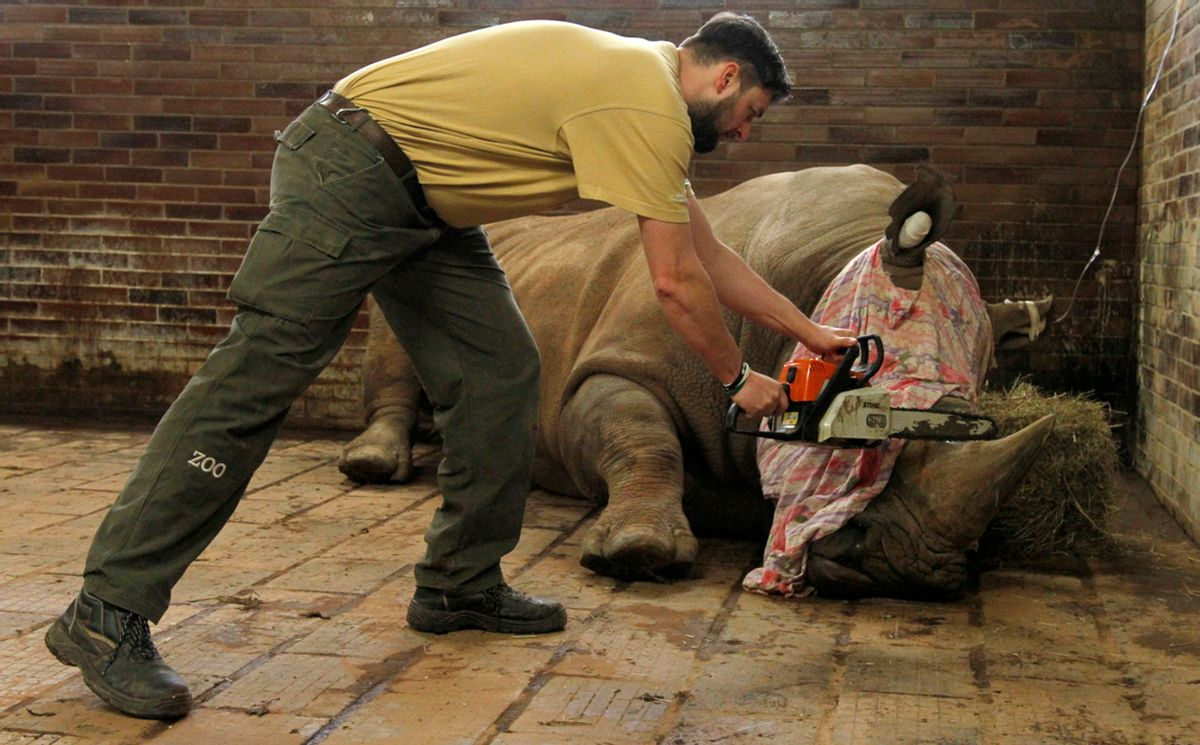 In this picture publicly provided by the zoo Dvur Kralove and taken on Monday, March 20, 2017, in Dvur Kralove, a zoo keeper removes  a horn of  Pamir, a southern white rhino, as one of the safety measures to reduce the risk of any potential poaching attack. The zoo's decision follows the incident in the French Zoo Thoiry, where one of the white rhinos was killed by poachers for its horn in the beginning of March. (Simona Jirickova/Zoo Dvur Kralove via AP) (AP)